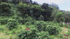 Crops of coffee, aerial Stock Footage