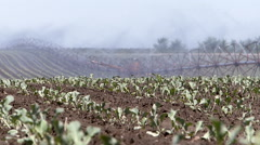 Irrigation in the field of cauliflower. Stock Footage