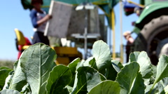 Workers on the field during cauliflower planting. - stock footage