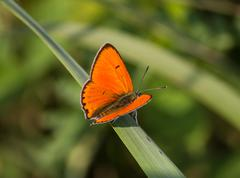 Large copper butterfly on a green blade of grass Stock Photos