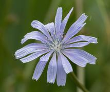 Chicory flower in a rain Stock Photos