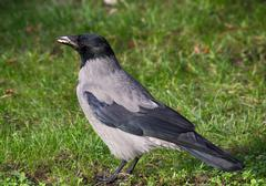 Hooded Crow (Corvus cornix) on a lawn - stock photo