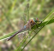 Stock Photo of Lesser Emperor dragonfly on a straw