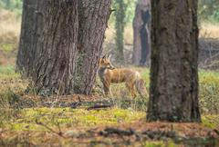 Red fox is hunting in a misty autumn forest Stock Photos