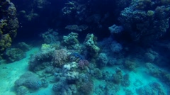 Blue shell on reef Stock Footage