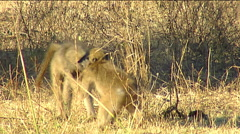 Chacma baboon (Papio ursinus) two youngsters wrestle and tussle Stock Footage