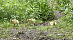 Canada Geese babies Stock Footage