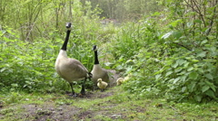 Canada Geese family Stock Footage