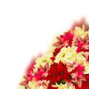 Stock Photo of scarlet poinsettia flower or christmas star