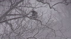 Immature bald eagle slowly takes off winter nature animal bird of pray Stock Footage