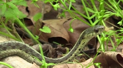 Garter snake crawls slowly away Stock Footage