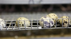 quails in cages at poultry farm during feeding - stock footage