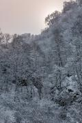 Stock Photo of Birches in hoarfrost on a hillside.
