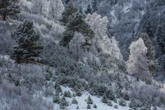 Birches in hoarfrost on a hillside. Stock Photos