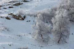 Birches in hoarfrost on a hillside. - stock photo