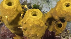 Yellow tube sponges with excurrent openings, zoom. Stock Footage
