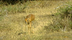 Steenbok (Raphicerus campestris) browsing on winter grass and shrubs Stock Footage