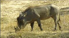 Warthog (Phacochoerus africanus) eating winter grass Stock Footage