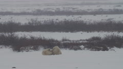 Polar Bears Wrestle in a Snow Storm - stock footage