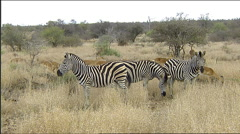 Zebra and impala grazing eating grass browsing South Africa Stock Footage