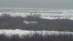 Polar Bears in a Snow Storm Interact - stock footage