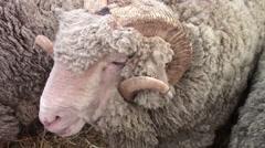 Merino ram sheep Stock Footage