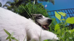 Happy Smiling Dog on Grass in Hot Summer Day Stock Footage