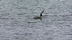 Great Crested Grebe - stock footage