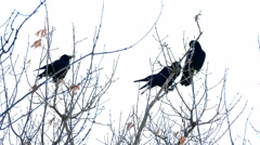 Three crows sit on the dry branches of a tree against the sky Stock Footage