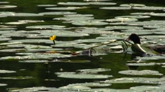 Eurasian coot building nest in a Yellow Water-lily Stock Footage