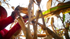 Thailand farmers from harvesting the corn farming. - stock footage