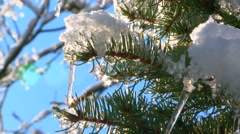 Fir Tree Branches With Melting Snow Stock Footage