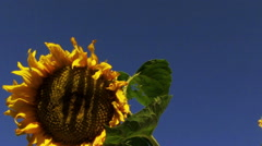 Sunflower on blue sky background Stock Footage