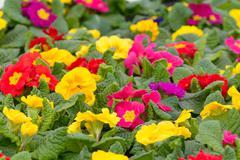Primrose flowers Stock Photos