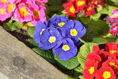 Primrose flowers - stock photo