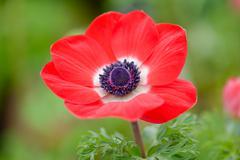 Anemone Flower Kuvituskuvat