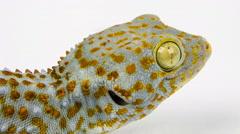 Closeup of a head Tokay Gecko (Gecko gecko). Stock Footage