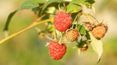 Bunch of a red raspberry Stock Footage