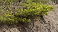 Pine Branches with Green and Yellow Needles in Sunny Day. Stock Footage
