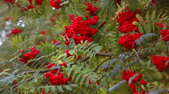 Rowan tree branches in autumn Stock Footage