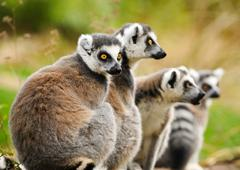 Group of lemur katta (Lemur catta) - stock photo