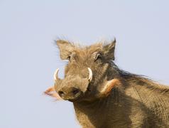 Stock Photo of Common Warthog Phacochoerus africanus Djoudj National Park Senegal Africa