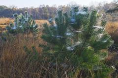 Stock Photo of Cobwebs on Scots pines Pinus sylvestris in autumn Emsland Lower Saxony Germany