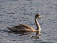 Young Mute swan is swimming - stock photo