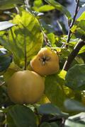 Ripe quinces Cydonia oblonga on tree Bavaria Germany Europe - stock photo