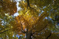 Deciduous forest with European beech Fagus sylvatica trees in autumn - stock photo