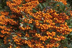 Firethorn Pyracantha sp with berries Bavaria Germany Europe - stock photo