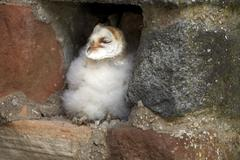 Common barn owl Tyto alba fledgling sitting in nesting hole Kasselburg Eifel - stock photo