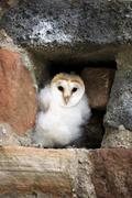 Common barn owl Tyto alba fledgling sitting in nesting hole Kasselburg Eifel Stock Photos