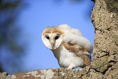 Common barn owl Tyto alba fledgling sitting on wall Kasselburg Eifel Germany - stock photo
